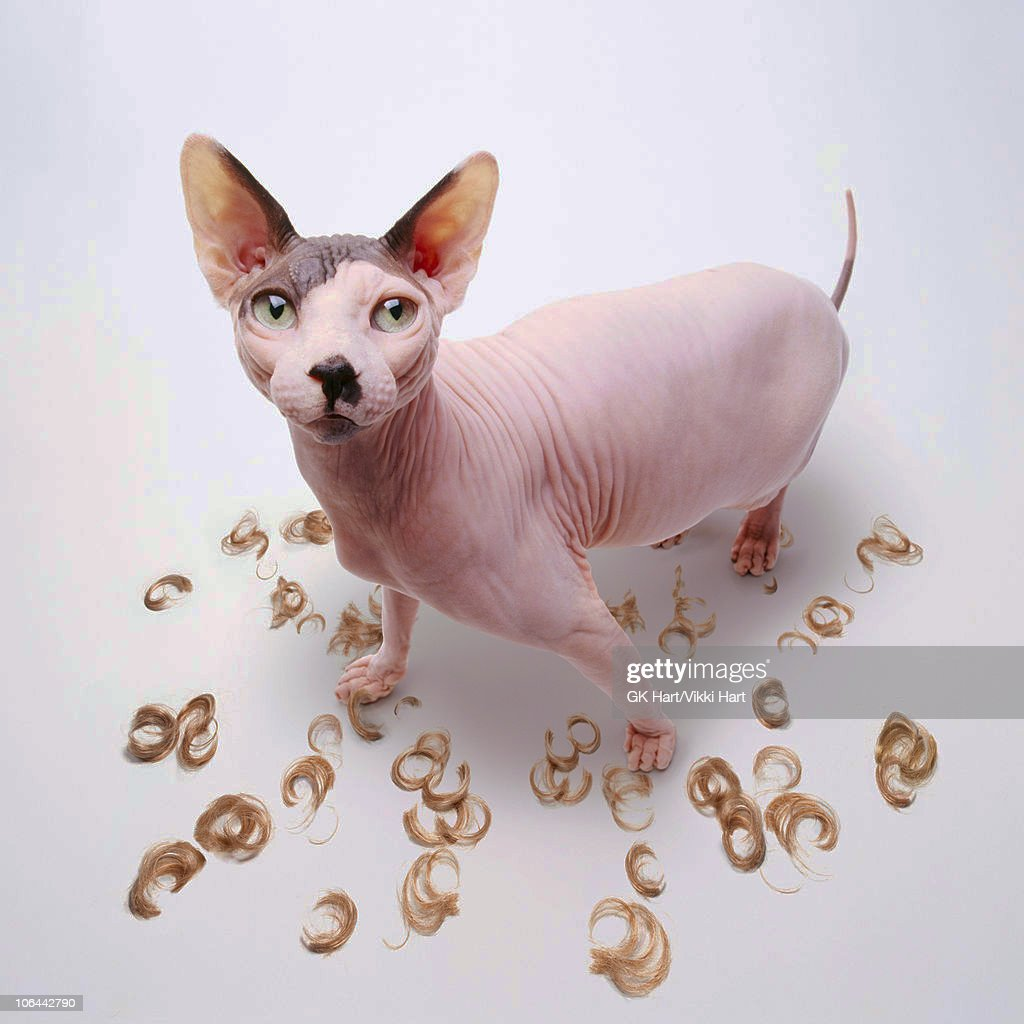 Hairless Cat with Hair Clippings : Stockfoto