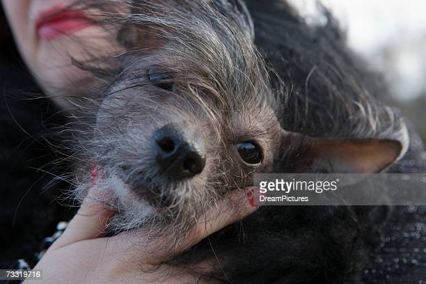 hairless chihuahua being held by owner, close-up - ugly dog stock pictures, royalty-free photos & images