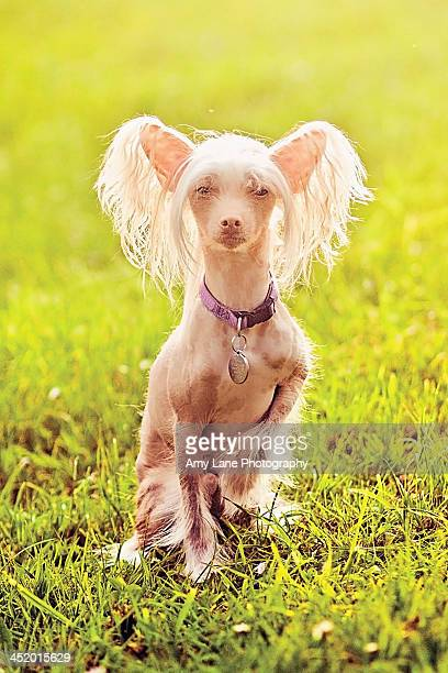 hairless chinese crested dog in field - chinese crested dog stock photos and pictures