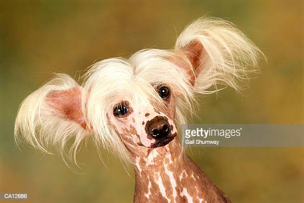 hairless chinese crested dog - chinese crested dog stock photos and pictures