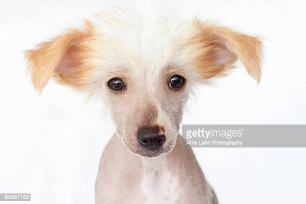 hairless chinese crested puppy - chinese crested dog stock photos and pictures