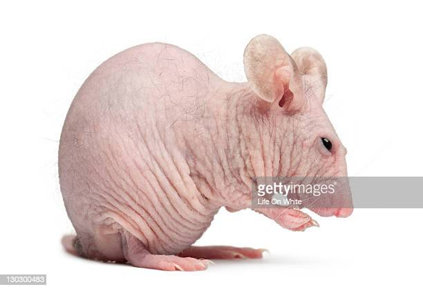 Hairless House mouse, Mus musculus