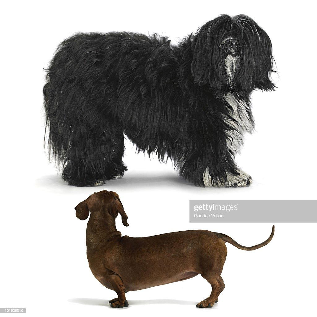 Hairless little dog looking at hairy large dog : Stock Photo