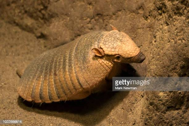hairy armadillo - armadillo stock pictures, royalty-free photos & images