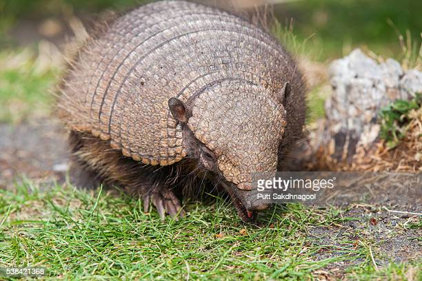 hairy armadillo (chaetophractus villosus) - armadillo stock pictures, royalty-free photos & images
