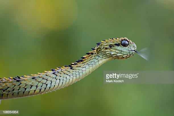 hairy bush viper flicking tongue - hairy bush stock pictures, royalty-free photos & images
