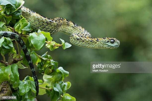 hairy bush viper in rainforest - venomous snake - hairy bush stock pictures, royalty-free photos & images