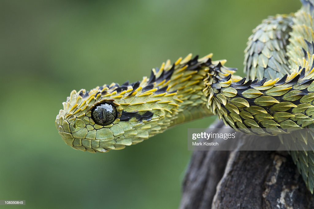 Hairy Bush Viper Snake : Stock Photo