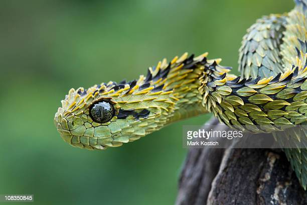 hairy bush viper snake - hairy bush stock pictures, royalty-free photos & images