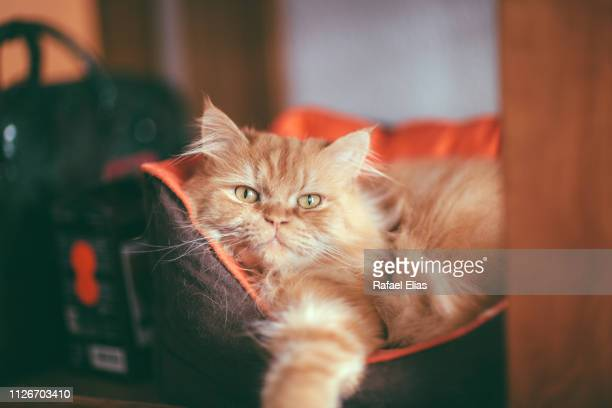 hairy cat on the bed - persian cat stock pictures, royalty-free photos & images