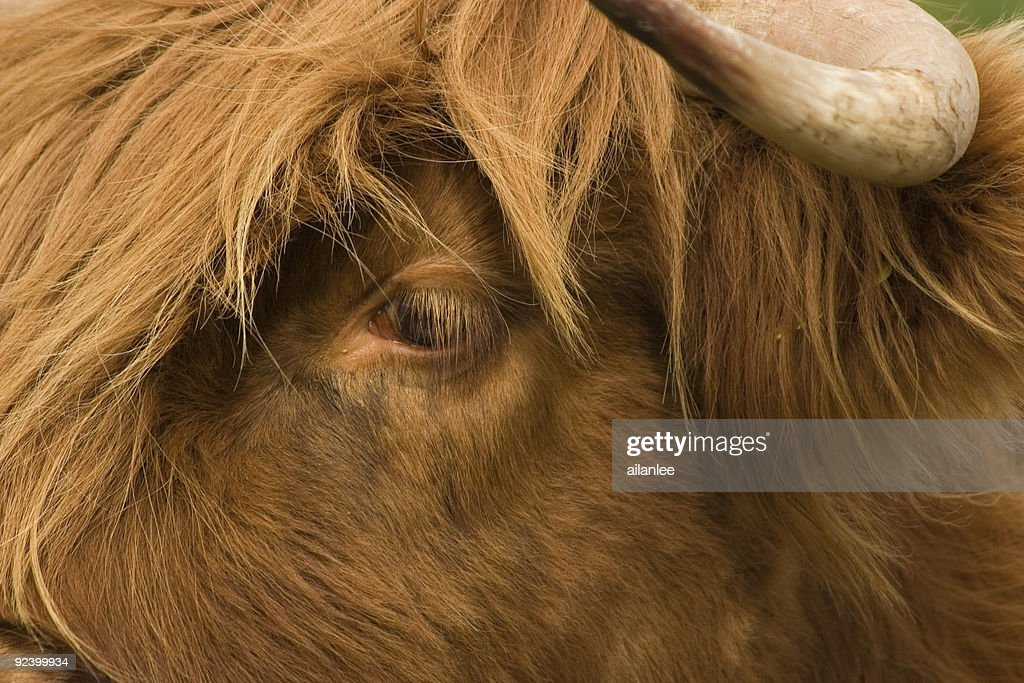 Hairy Cow Eyelashes Stock Photo Getty Images