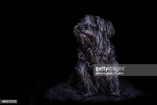 Hairy Dog Looking Up Against Black Background