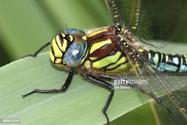 hairy hawker dragonfly (brachytron pratense) - dragonfly stock-fotos und bilder