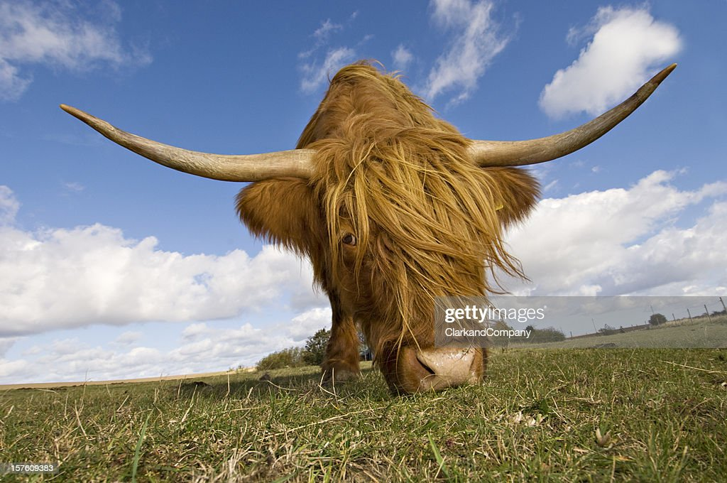 Hairy, horned, highland cow grazing  : Stock Photo