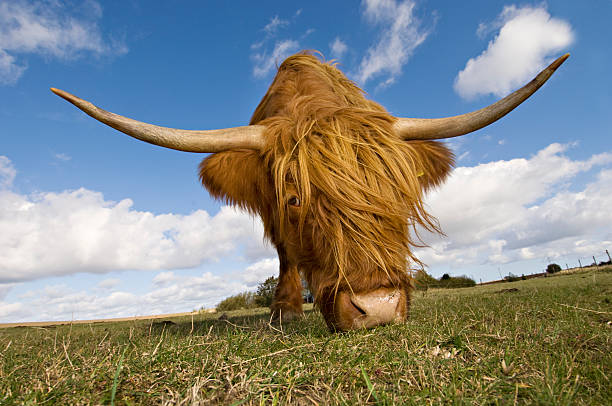 Close Up Of A Highland Cow Wall Art