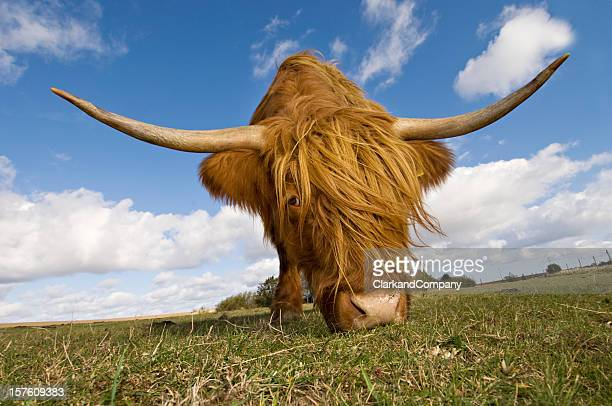 Hairy, horned, highland cow grazing