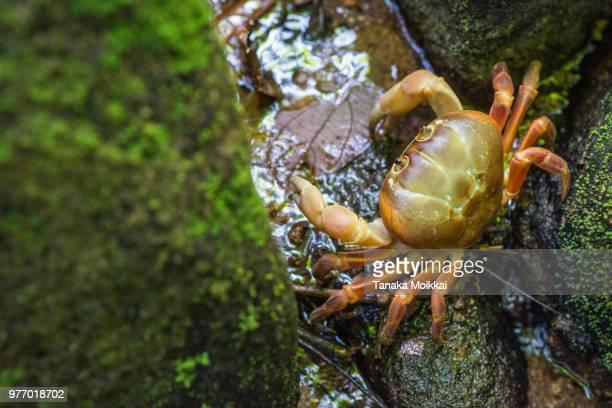 Hairy leg mountain crab koh tachai island