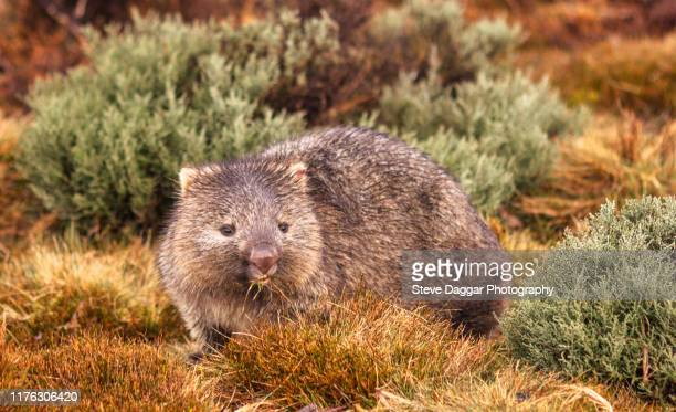 hairy nosed wombat - wombat stock pictures, royalty-free photos & images