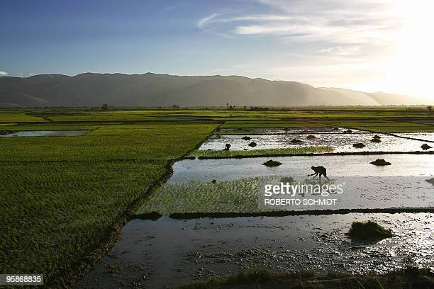 Haitian farmer bends over a field of rice as he plants young rice stems into a muddy field in Jackaman in the Artibonite valley in central Haiti 29...