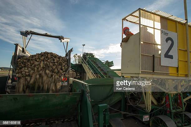 Hal Gruver a pile operator on site at a beet harvest receiving station monitors the unloading of beets during the first day of the annual sugar beet...