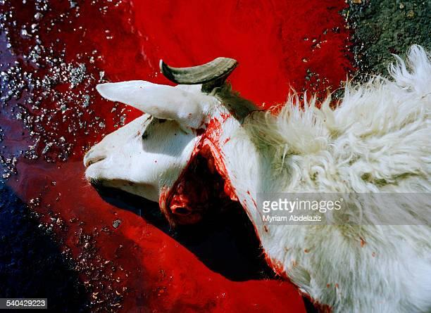 Halal butchering