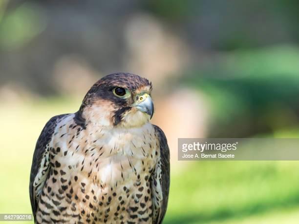 Halcón sacre (Falco cherrug), head close up. France