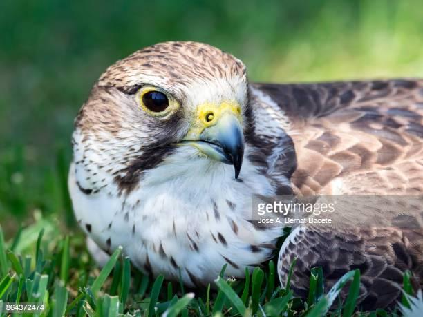 Halcón sacre (Falco cherrug),head close up. France