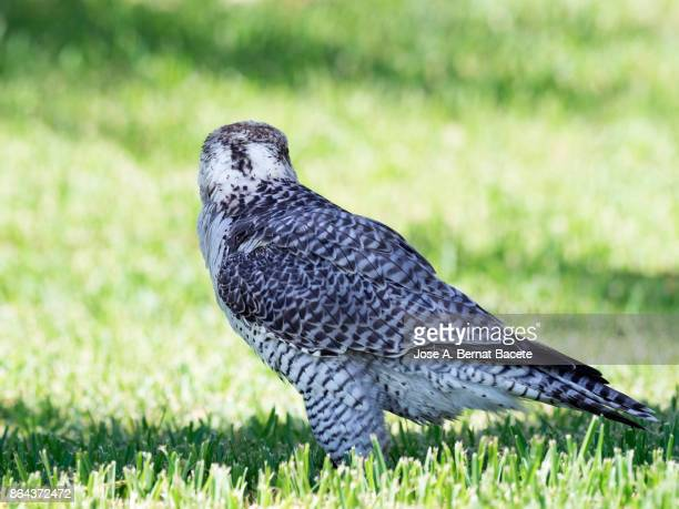 Halcón sacre (Falco cherrug),perched on the ground on the grass. France