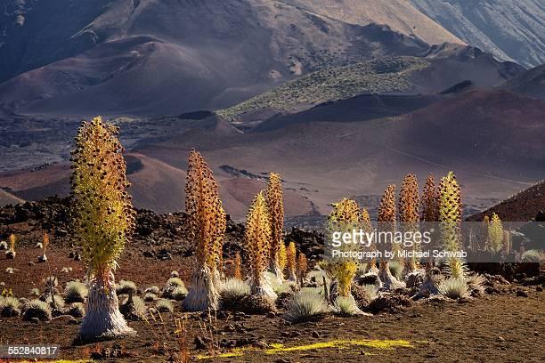 haleakala silversword grove - argyroxiphium sandwicense - fotografias e filmes do acervo