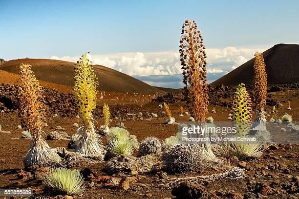 haleakala silversword lifecycle, maui, hawaii - argyroxiphium sandwicense - fotografias e filmes do acervo