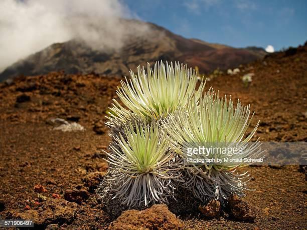 haleakala silversword, maui, hawaii - argyroxiphium sandwicense - fotografias e filmes do acervo