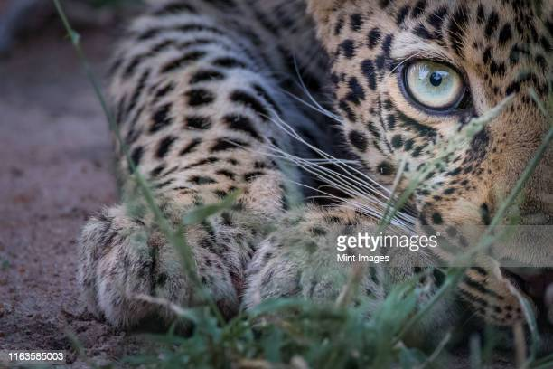 half a leopard's face, panthera pardus, as it crouches low to the ground, yellow green eye, direct gaze. - leopardo foto e immagini stock