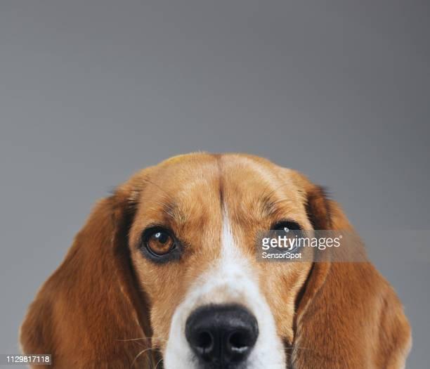 灰色の背景のビーグル犬の半分の顔スタジオ ポートレート - ビーグル ストックフォトと画像