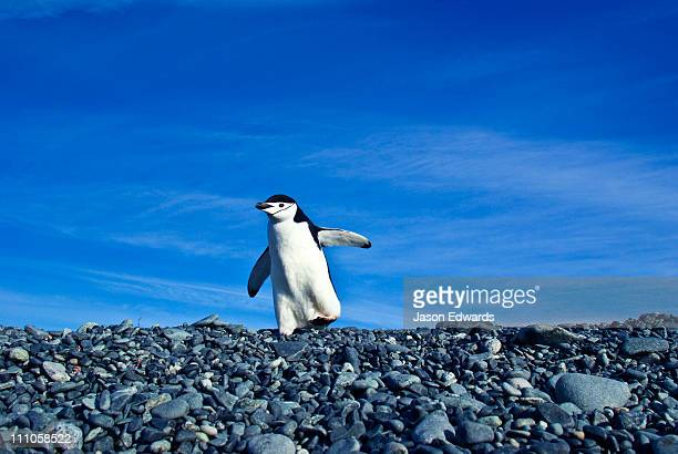A Chinstrap Penguin waddles across a grey gravel beach to the ocean.