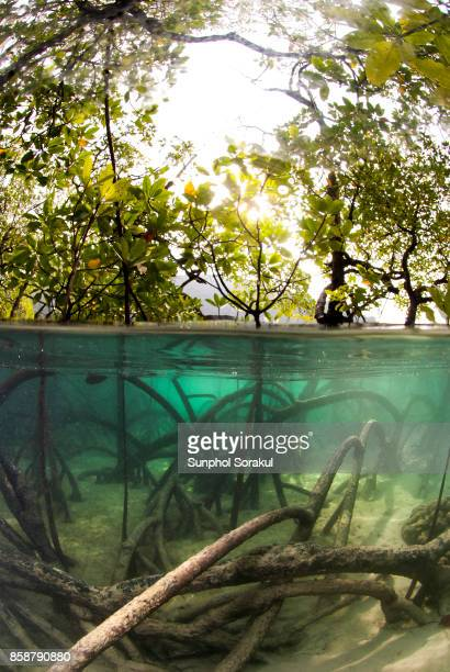 half submerged view of a mangrove forest and their rootings underwater. - mangroves stock pictures, royalty-free photos & images