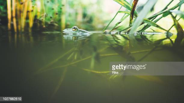 half underwater garden with green frog - pond stock pictures, royalty-free photos & images