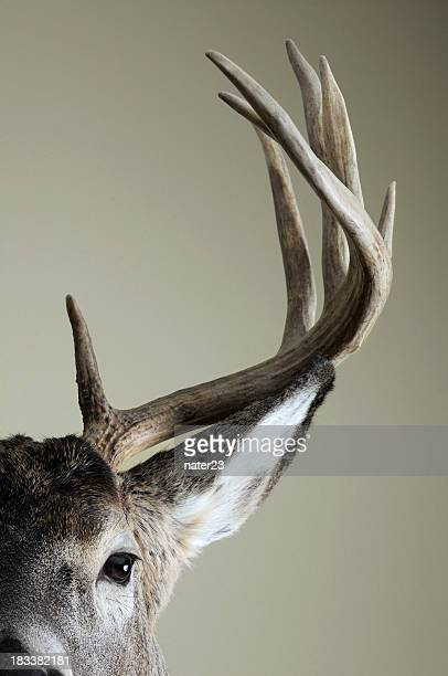Half Whitetail deer head