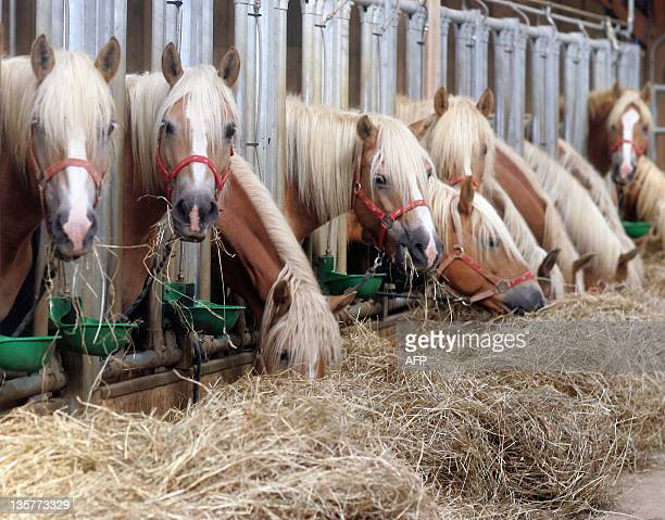 Halflinger mares eat hay 28 September 2006 in Degre center of France During their lactation period the mares can produce in general 35 liters of milk...