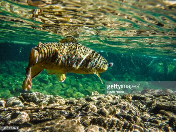 halfmoon brown - brown trout stock pictures, royalty-free photos & images