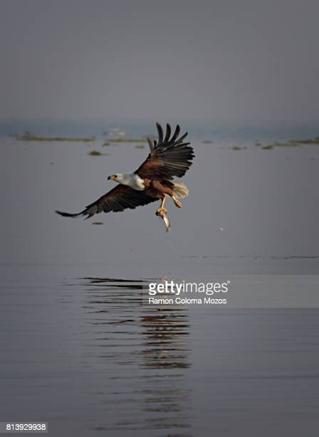 Haliaeetus vocifer fishing