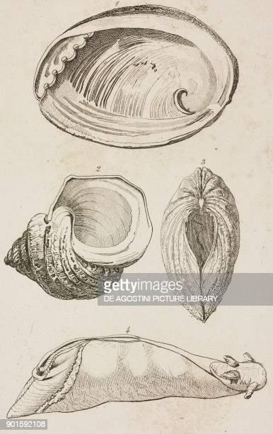 1 Haliotis 2 Marbled turban 3 Giant clam 4 Aplysia of Urville Shells Oceania and Australia engraving from Oceanie ou Cinquieme partie du Monde Revue...