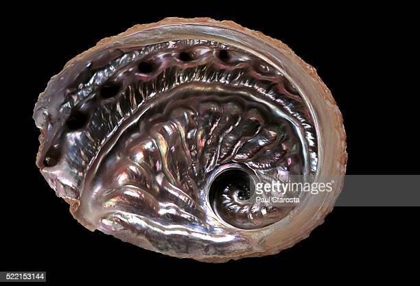 haliotis scalaris - 玉虫色 ストックフォトと画像