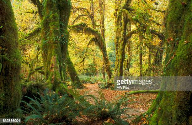Hall of Mosses Trail in Hoh Rainforest Olympic National Park Washington