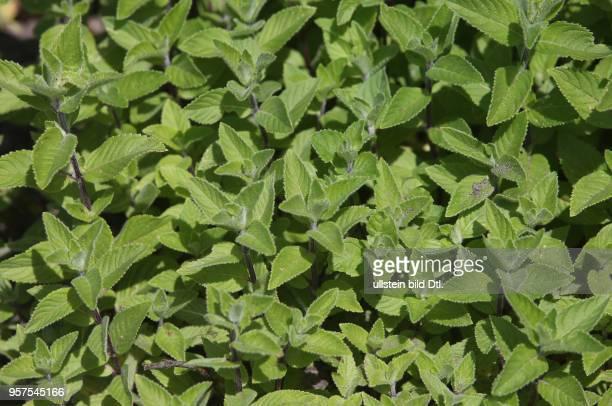 Halle Saale Pfefferminze Mentha × piperita Minze Pfefferminze Pflanzen Pfefferminzpflanzen Heilkräuter Gartenkräuter Sachsen Anhalt
