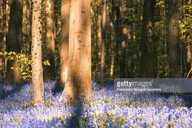 hallerbos, belgium. bluebells forest - iacomino belgium foto e immagini stock