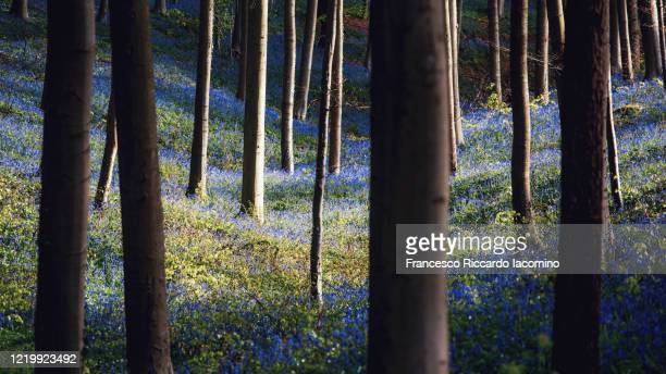 hallerbos, belgium. bluebells forest with magical dark mood - iacomino belgium foto e immagini stock