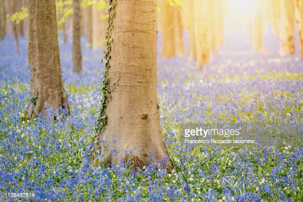 Hallerbos, Belgium. Bluebells forest with magical mood