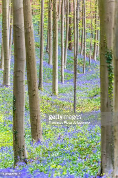 hallerbos, belgium. bluebells forest with magical mood - iacomino belgium foto e immagini stock