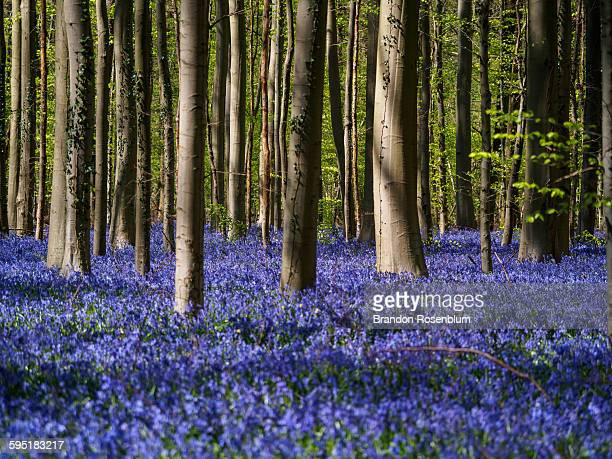Hallerbos bluebell forest