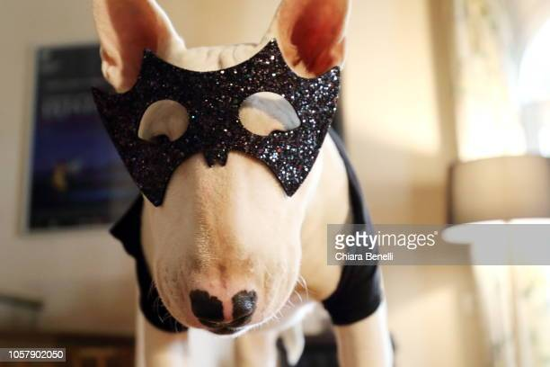 halloween dog - dog mask stock pictures, royalty-free photos & images